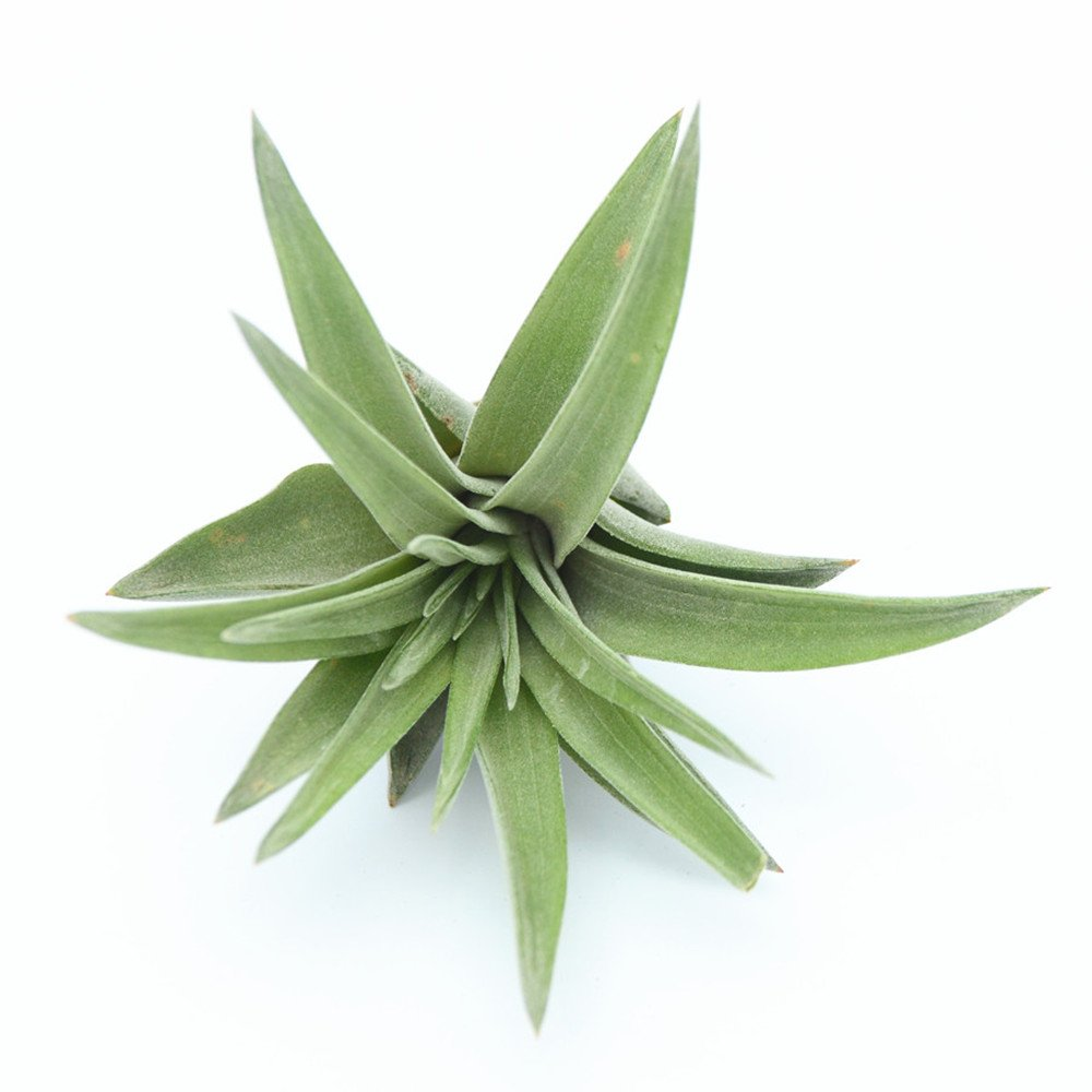 Air Plant Tillandsia Abdita