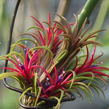 Tillandsia Rubra in Flower