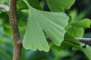 Ginkgo Bilabo Leaf