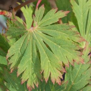 Acer Japonicum Aconitifolium Leaf