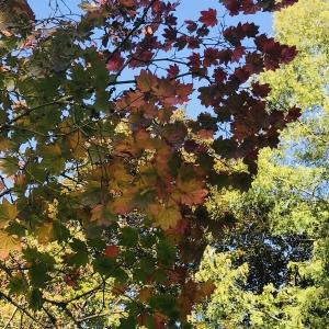 Acer Japonica Vitifolium Leaf at Westonbirt Arboretum