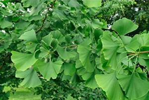 Ginkgo Maidenhair Leaf